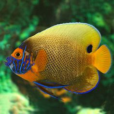 Blue Face Angel, Large Saltwater Angelfish for Aquariums