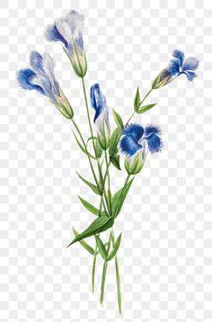 Hand Flowers, Botanical Flowers, Botanical Art, Botanical Illustration, Flower Png Images, Free Illustrations, Antique Art, Vintage Postcards, Vintage Flowers