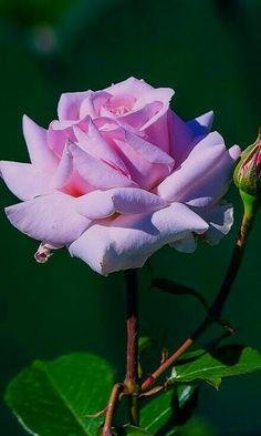 Beautifully Pale Pink