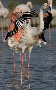 A flamingo preens in Camargue.--Most of the plumage is pinkish-white, but the wing coverts are red and the primary and secondary flight feathers are black. The bill is pink with a restricted black tip, and the legs are entirely pink. White Flamingo, Flamingo Bird, Pink Flamingos, Romantic Short Stories, Flight Feathers, Greater Flamingo, Water Blue, Photography Competitions, White Horses