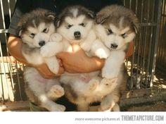 huskies fluffballs