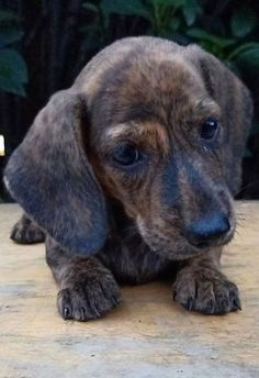 This is a list of cutest dogs which always attract people who love animal. Dachshund Bonus will introduce you a list of cutest dogs based… Miniature Schnauzer Puppies, Schnauzer Puppy, Dachshund Puppies, Dachshund Love, Lab Puppies, Cute Dogs And Puppies, Weenie Dogs, Doggies, Dog Grooming Business