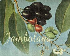 Frutas Tropicales Jambolana Graphic Art on Wrapped Canvas