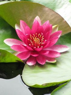 Tattoo lotus rose water lilies New ideas Lotus Symbol, Different Types Of Flowers, Calla, Lily Pond, Aquatic Plants, Water Plants, Flower Art, Beautiful Flowers, Beautiful Pictures