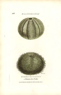 Antique prints of animals and sealife by George Shaw. Antique Prints, Vintage Prints, Sea Urchin, Chile, Antiques, Pictures, Antiquities, Photos, Antique