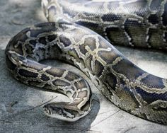Burmese pythons- Florida, being overrun by Burmese pythons, released by errant pet owners. Tens of thousands of these monsters  some up to 20 ft long live in Everglades Park   may be responsible for a precipitous decline in populations of native mammals including opossums, bobcats, rabbits & deer, birds & reptiles- pythons & other feral serpents, like boa constrictors,difficult to manage in the wild and adapt easily to colder climates they may be making their way to a state near you!