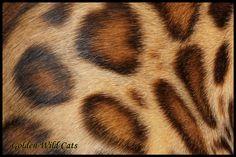 es poils du Bengal sont courts, denses, lisses et soyeux comme de la soie. Ils peuvent avoir un aspect doré, appelé le glitter Bengal, Comme, Cats, Flare, Gatos, Kitty Cats, Cat Breeds, Kitty, Cat