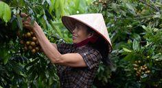 """Los países de Asia y el Pacífico agarran el Desafío Hambre Cero por los cuernos - La misión de acabar con el hambre en la región más poblada del mundo ha recibido un impulso con la respuesta positiva de los países miembros de la FAO al llamamiento a un """"gran esfuerzo"""" para acabar con el hambre en Asia y el Pacífico."""