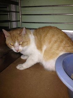 LEO HAS BEEN RESCUED !!  THE 345TH CAT RESCUED FROM CCAC IN 2015  8 MAY @5PM ET - PULLED FOR RESCUE BY CAT ADOPTION TEAM, WILMINGTON, FOR FOSTER CARE