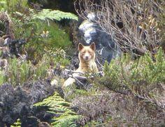 Rare Sighting New Guinea Singing Dog