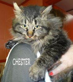 UPDATE-ADOPTED! AVAILABLE 2/27! STRAY Tag# 29377 Name is Chester  Male-not neutered  Approx 5 months old Sweet boy that loves to cuddle!   https://www.facebook.com/photo.php?fbid=600117833392373&set=a.600117590059064.1073741974.267166810020812&type=3&theater
