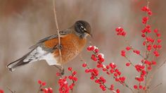 Robin Winterberry Feast