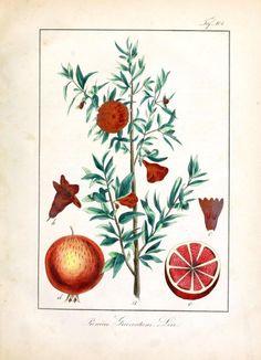 Botanical - Fruit - Some kind of prunus