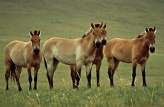 "The Przewalski's Horse (Equus ferus) is a success story, improving its status from critically endangered to endangered. Originally, it was listed as ""Extinct in the Wild"" in 1996, but thanks to a captive breeding program and a successful reintroduction program, the population is now estimated at more than 300, according to the IUCN."