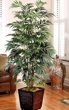 Bamboo Palm 6 Best Plants for Filtering Indoor Air! Bamboo Palm, Bamboo Tree, Bamboo Plants, Fake Plants, Cool Plants, Indoor Bamboo, Best Plants For Bedroom, Bedroom Plants, Plant Rooms