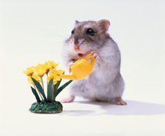 Hamster Waters Flowers Stock Photo 3004-002057