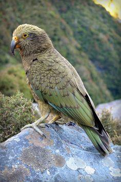Kea (Nestor notabilis) A juvenile bird on a rock Exotic Birds, Colorful Birds, Beautiful Birds, Animals Beautiful, Parrot Pet, Parrot Bird, Kiwi Bird, Budgies, Parrots