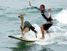 We didn't know they could surf!  These are the coolest animals.  Alpaca fleece is a premium fiber and in high demand in the Knitting, crochet & fashion industry. That's why we love it!
