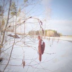 """Kappale luontoa ∆ Luontoblogi sanoo Instagramissa: """"#keväänmerkkejä #signsofspring #kevät #spring #luontokuvaus #naturephotography #puut #trees"""" Spring, Instagram"""