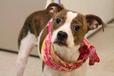 NAME: Ruffus  ANIMAL ID: 28014647  BREED: Terrier mix  SEX: male  EST. AGE: 6 mos  Est Weight: 17 lbs  Health: heartworm neg  Temperament: dog friendly, people friendly.  ADDITIONAL INFO: RESCUE PULL FEE: $69  Intake date: 6/3  Available: Now