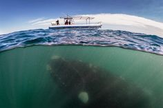 Awesome shot of a whale underwater.