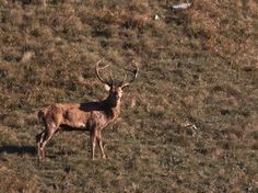 what a beautiful deer in Abruzzo! Giraffe, Roots, Deer, Nature, Animals, Beautiful, Italia, Giraffes, Naturaleza