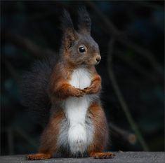 """Eichhörnchen """"Erectus Hofgartenensis""""- 2 http://fc-foto.de/11960138"""
