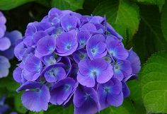 Hydrangea macrophylla Hortensia Bigleaf hydrangea hardiness high and wide flower can be white, blue, or pink Hydrangea Macrophylla, Hortensia Hydrangea, Hydrangea Garden, Hydrangeas, Black Flowers, All Flowers, Flower Photos, Trees To Plant, Purple Flowers