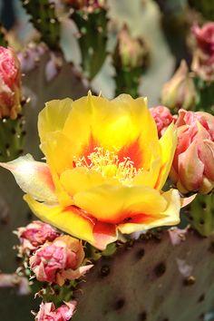 Prickly Pear Flower 6523 by WolfArtistic.deviantart.com on @DeviantArt