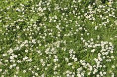 Chamomile Lawn Plants: Tips For Growing Chamomile Lawns. An unusual alternative to ordinary grass lawns.