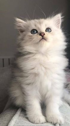 Cute Baby Cats, Cute Cats And Kittens, Kittens Cutest, Pretty Cats, Beautiful Cats, Animals Beautiful, Cute Kawaii Animals, Cute Little Animals, Grey Kitten