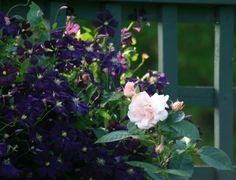Dark purple clematis with pale pink rose