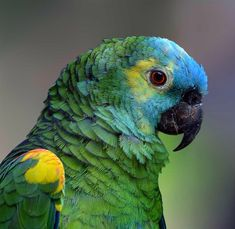 Blue Crown Amazon Parrot | Blue crowned Mealy Amazon Parrot (Amazona farinosa) I think...