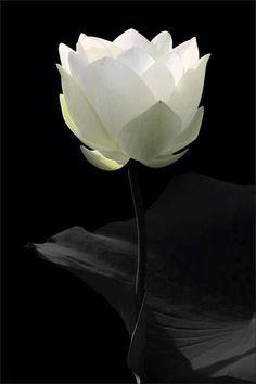 Black | 黒 | Kuro | Nero | Noir | Preto | Ebony | Sable | Onyx | Charcoal | Obsidian | Jet | Raven | Color | Texture | Pattern | Styling | White | Flower | Lotus | Petals