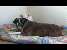This is a must see video!!!!  It warms the heart!  Unlikely Animal Friends: Susie the Boxer and Tabitha the Piglet