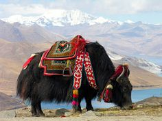 This is a domesticated Yak. Wild yak are found only on the Tibetan Plateau, although in medieval times they may have lived much further north and west. One small population is known to cross the border into Ladakh in far northern India at certain times of the year, but they are otherwise extinct outside of China, having vanished from Nepal as recently as the 1990s.    Posted by Jk Revell