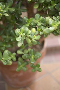 One of the classiest household succulents is the jade plant. These little beauties are so charming you simply want more of them. That leads to the question, can you separate a jade plant? This article will help with jade plant division.