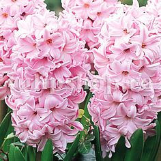 Hyacinth Wallpapers) – Wallpapers and Backgrounds Bulb Flowers, Love Flowers, Beautiful Flowers, Hyacinth Flowers, Floral Pins, Hollyhock, Trees And Shrubs, Gardening For Beginners, Blue Lace