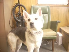 #OHIO #GassingShelter ~ ID 4 AVAILABLE NOW! ( MAKAI, 3 YRS ) is a Husky / Sheperd mix in need of a loving #adopter / #rescue at the CARROLL COUNTY DOG POUND 2185 Kensington Rd NE Route 9  #Carrollton OH 44615 Ph 330-627-4244