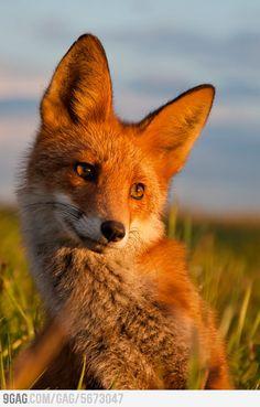 Ridiculously Photogenic Fox