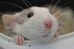 awww animals cute animal so cute aww pet rats rat pet rat pet rats Animals And Pets, Baby Animals, Funny Animals, Cute Animals, Strange Animals, Hamsters, Rodents, Rats Mignon, Animal Pictures