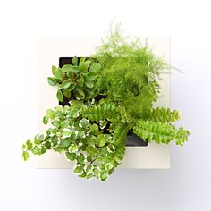 [Net] limited foliage plant 16 × 16cm can be hung on the wall E   Muji net store