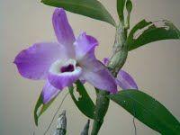 Información de Cultivo, Mantenimiento y Venta de Orquídeas.