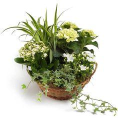 Tuinmix  Een 6-in-1 sprookje in wit en groen! Witte chrysanten en andere seizoensklassiekers gemengd met decoratieve grassen en verfijnd klimop vormen een stukje natuur op elk bureau.  EUR 22.50  Meer informatie  http://ift.tt/2dN0yZP #bloemen