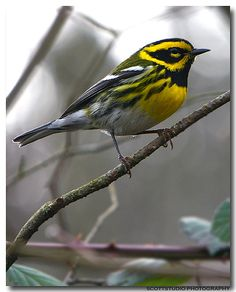 Townsend's Warbler - We get these at our suet feeder. They are so pretty.