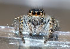 https://flic.kr/p/tSCt7w | Jumping spider | In Fytema, Ikaria, Greece - June 18, 2015