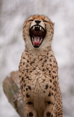 The cheetah cannot roar, but ranks among the more vocal felines. Their vocalization includes chirping, stuttering, growling,yowling and purring. These sounds all have a different meaning.