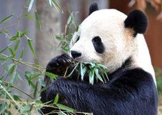 China: the sad truth about panda diplomacy