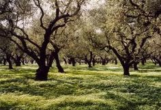 Olive Orchard...old-style spacing