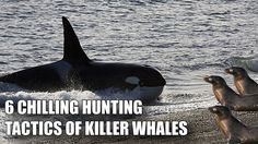 6 CHILLING HUNTING TACTICS OF ORCA KILLER WHALES:Orcas...the Germans of the ocean world! LOL! I am married to a German so I know how efficient, clever, relentless, fearless and intelligent they are. :)